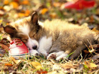 if-the-shoe-fits-shetland-sheepdog