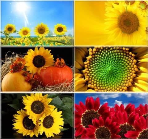 sunflowers wallpaper. Sunflowers Wallpaper